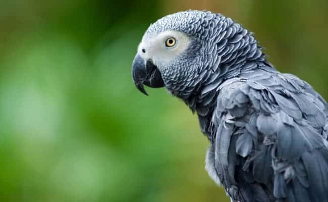 POLL: Should African Grey Parrots be protected from illegal trafficking?