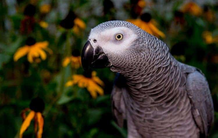 'Catastrophic' decline: nearly 99% of African grey parrots wiped out in Ghana