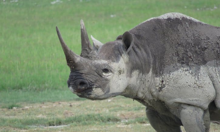 Record number of African rhinos killed in 2015