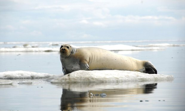 Alaska seal can be protected based on future climate threat, court says