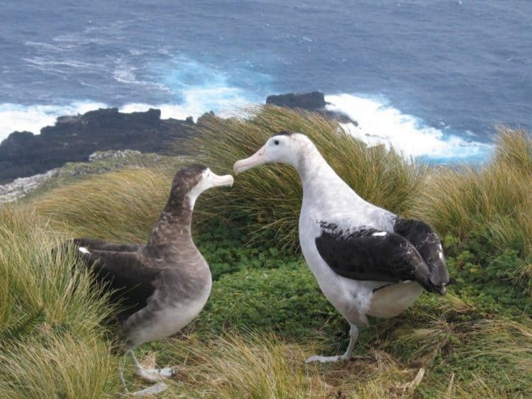 albatross couple high res