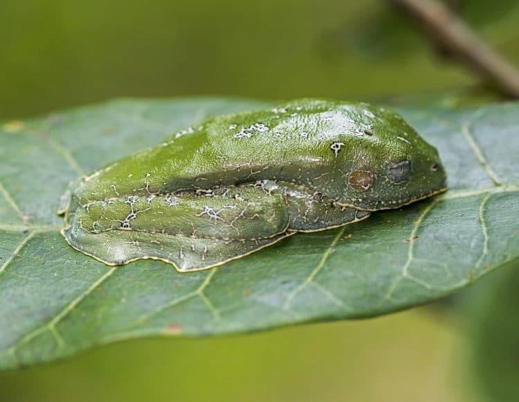 amazon leaf frog cruziohyla craspedopud