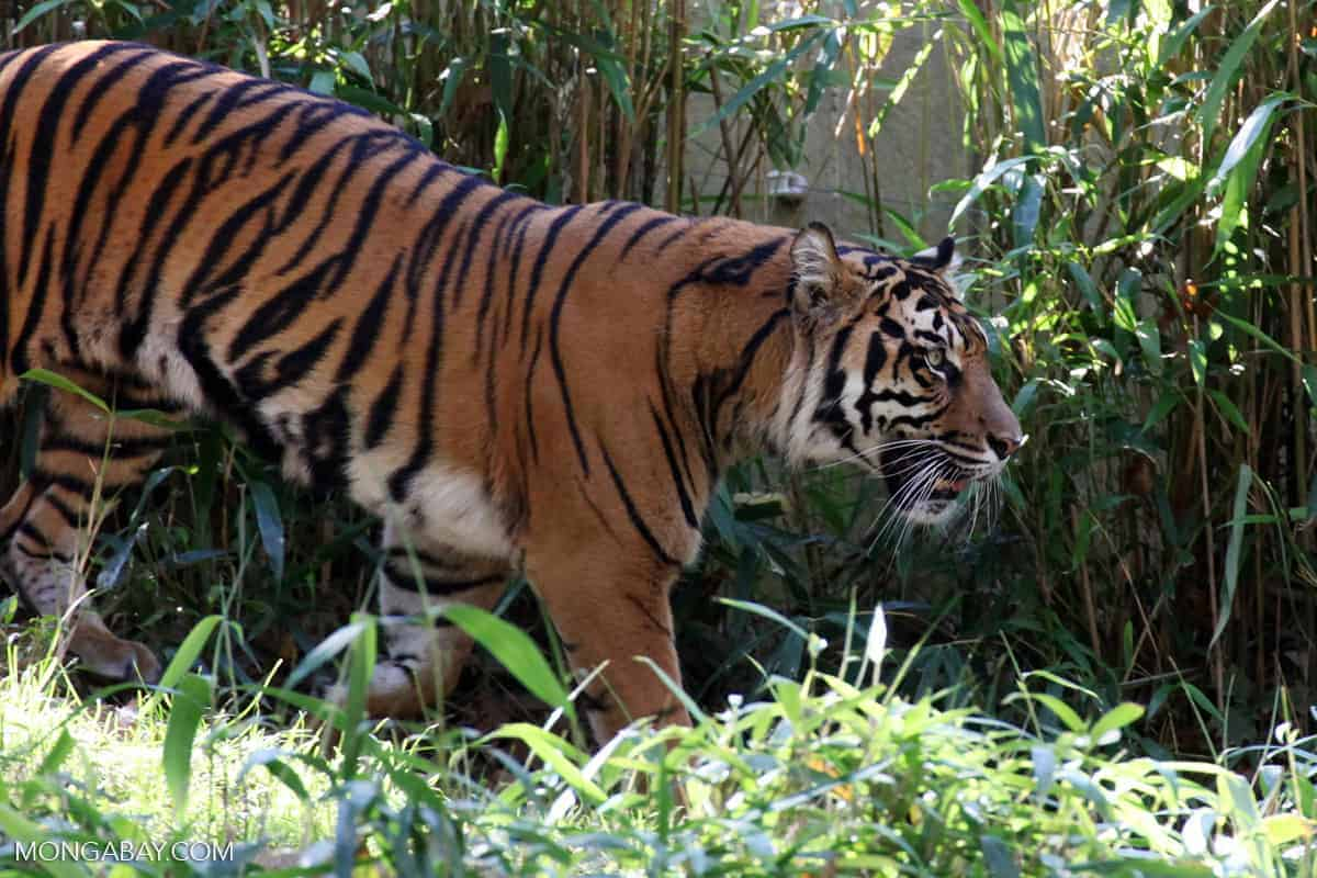 Sumatran tiger blamed for killing two people is captured alive after marathon hunt
