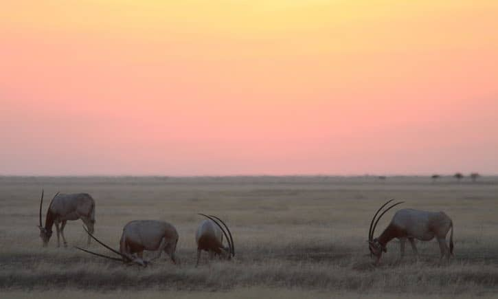 Group of 'extinct' antelope released into wild in southern Sahara