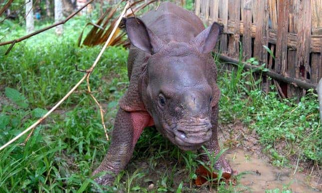 Wildlife workers rescue six baby rhinos from flooding in India
