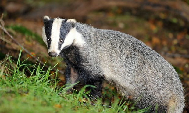 POLL: Should the slaughter of badgers be allowed to continue?