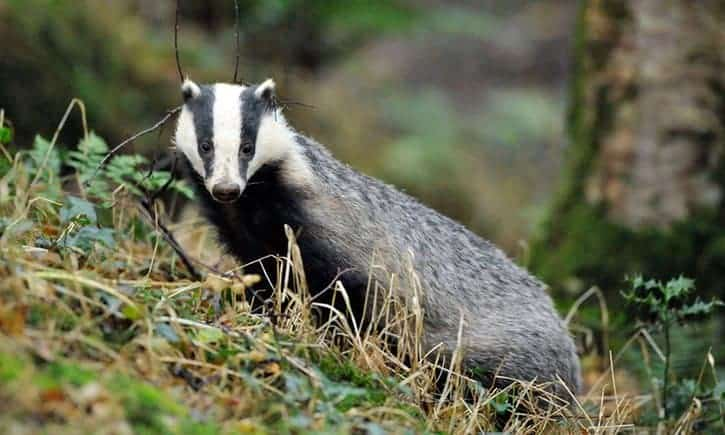 POLL: Should the badger cull in the UK be stopped?