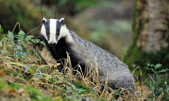 POLL: Should the UK's failed badger cull policy be abandoned?