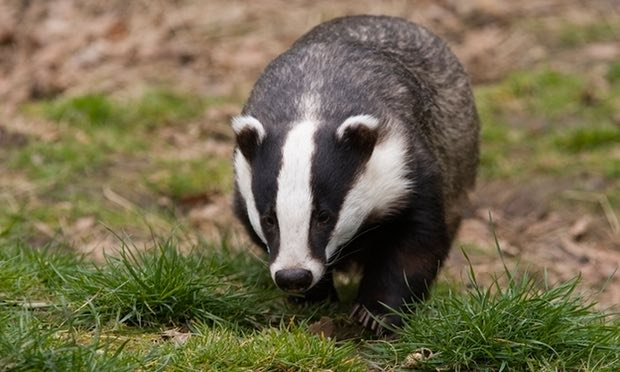 Kissing cows are to blame for bovine TB – so stop this bloody badger cull