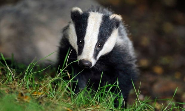 Badger cull in England extended to 'unimaginable scale'