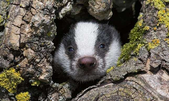 POLL: Should the slaughter of badgers in the UK be finally stopped?