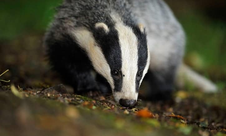 POLL: Should all badger culls in the UK be stopped?