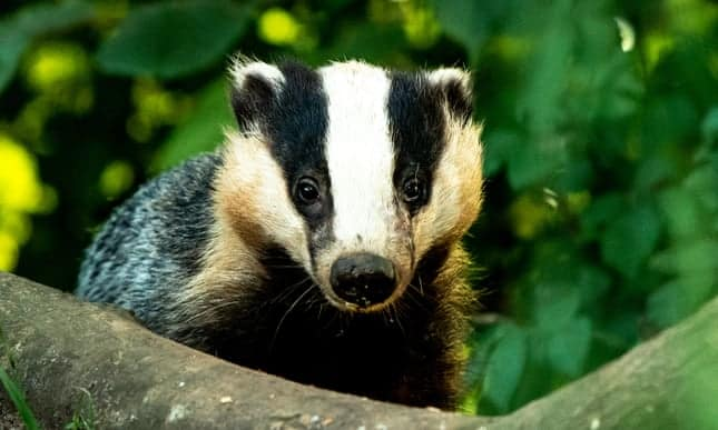 Huge increase in badger cull will see up to 42,000 shot