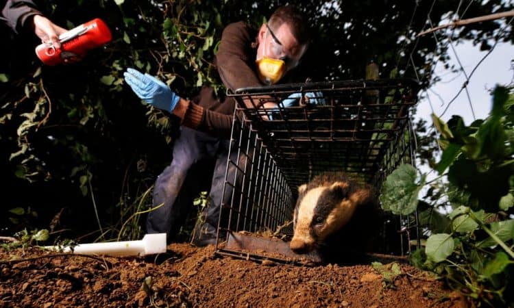 POLL: Should bovine TB be controlled by culling or vaccinating badgers?