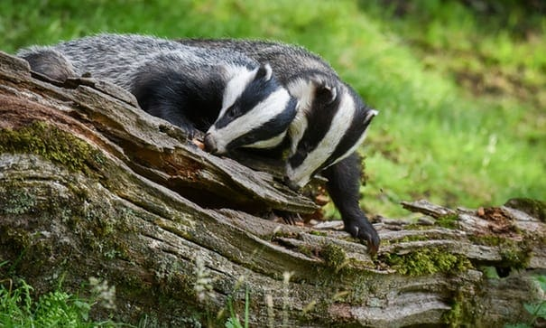 Secret filming reveals hidden cruelty of licensed badger culls