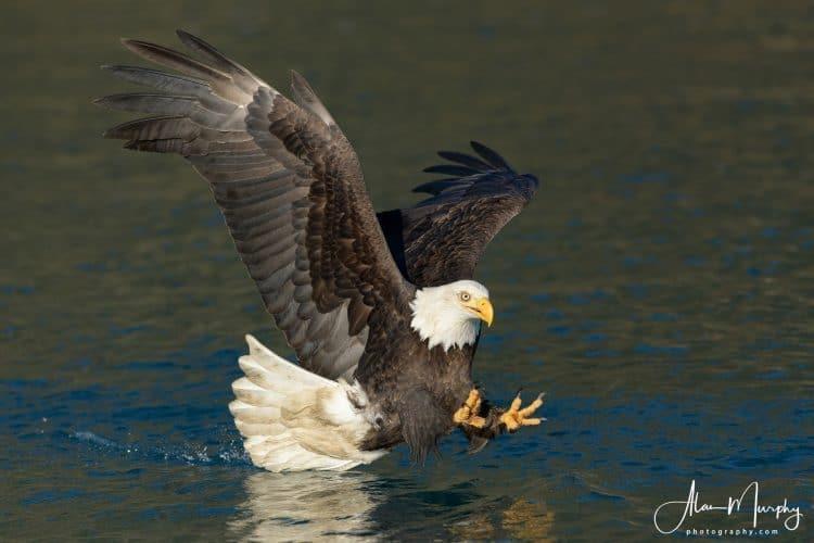 bald eagle 343 alan murphy