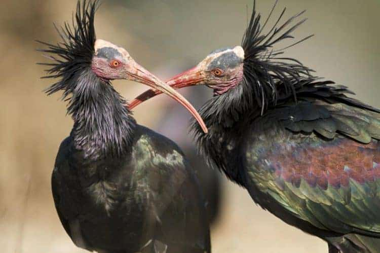 Record breeding success for Critically Endangered Northern Bald Ibis