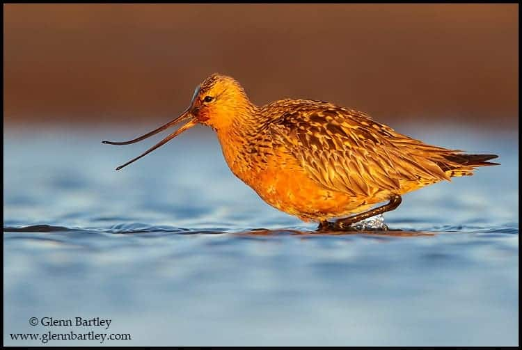 bar tailed godwit limosa lapponica