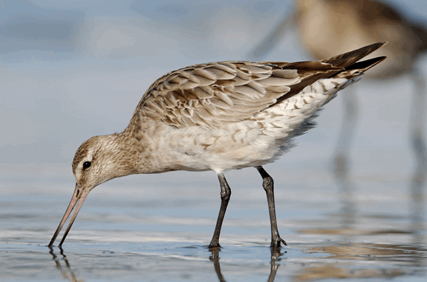 Bar Tailed Godwit: New Zealand's Bird of the Year