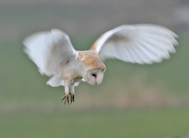 New Year – Barn Owl