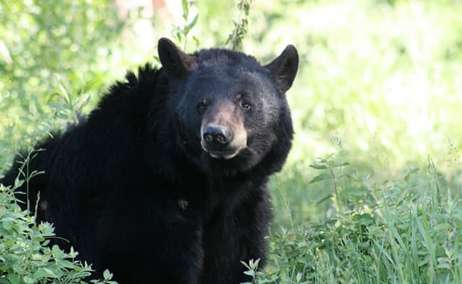 Wildlife advocates win! No Florida bear hunt for at least 2 years