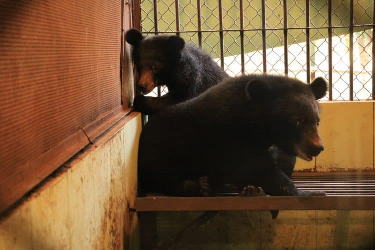 Petition: Endangered Moon Bear Cubs, Sugar and Spice, Rescued From Cruel Circus