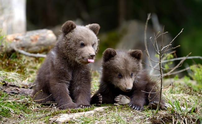 Hunters Caught Killing Mother Bear and Her 'Shrieking' Cubs