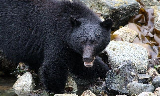 POLL: Should spear hunting of bears be banned?