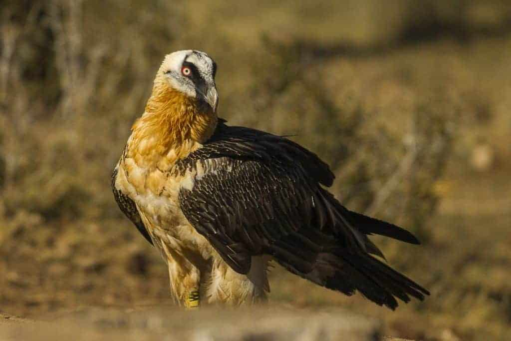 Saving the vultures of Saudi Arabia