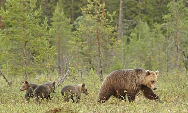 Stand by me: bears adapt to hunting ban on family groups by keeping cubs longer