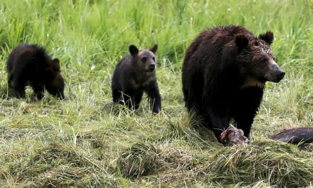 Judge delays public grizzly bear hunts as he considers federal protections
