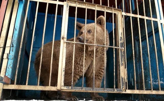 3 More Caged Bears Saved From Shocking Conditions in Armenia