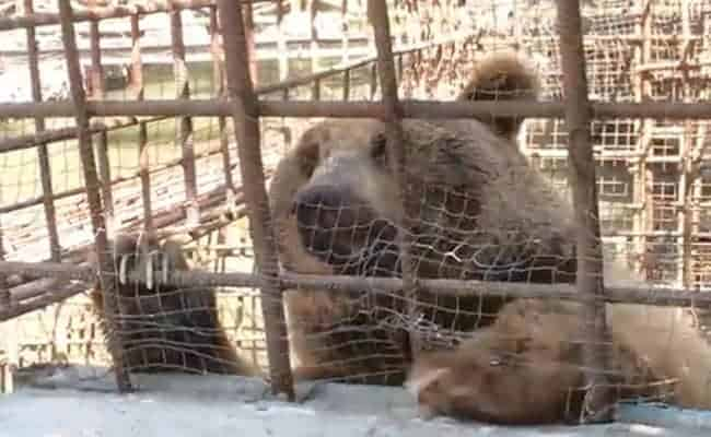 POLL: Should the use of bears as living tourist attractions be banned?