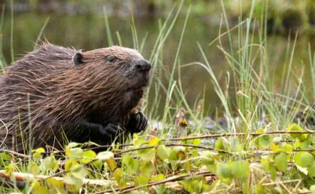 "POLL: Should the Beaver be ""Rewilded"" in the UK?"