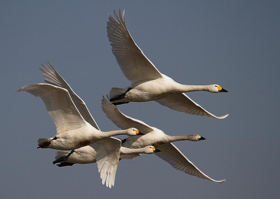 Following Bewick Swans on their 4,500-mile migration