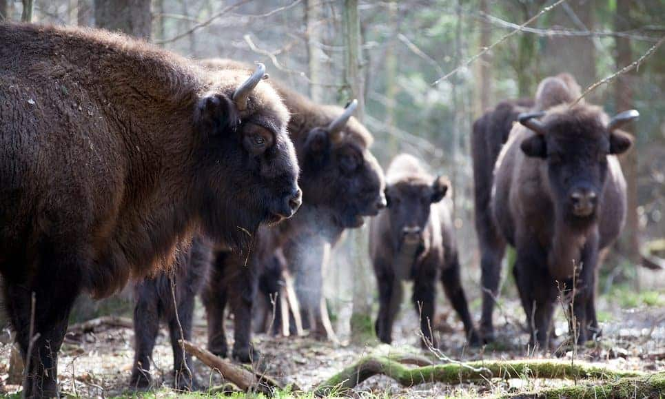 POLL: Should Poland's bison hunting plan be allowed to go ahead?