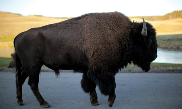 Yellowstone national park: video shows bison tossing nine-year-old girl in air