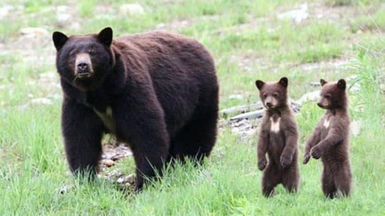 Demand for North American bear parts fuels black market activity in Canada: expert