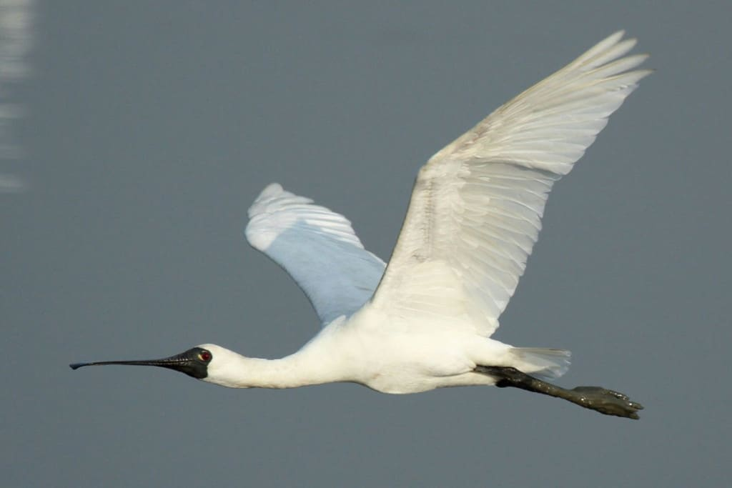 Record Black-faced Spoonbill count, despite deteriorating habitat