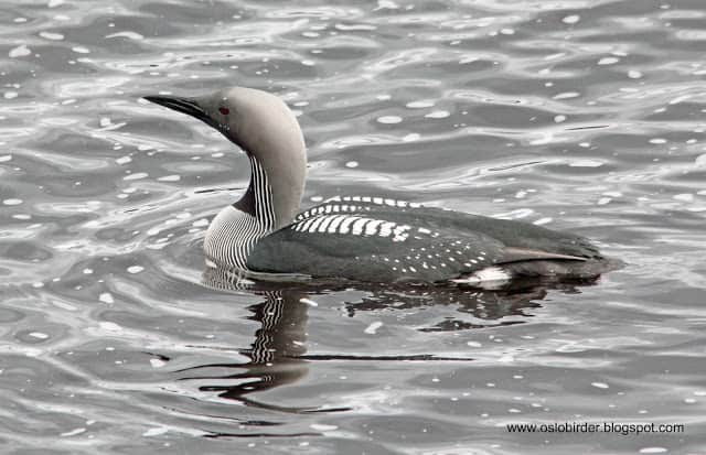 Black-throated Divers back in the Dale