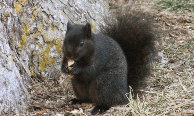 Black squirrel 'super' species? No, just a darker shade of grey