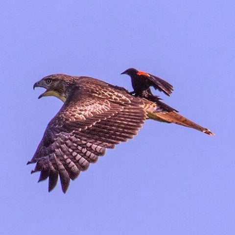 "Rare Picture: Blackbird ""Rides"" Hawk"