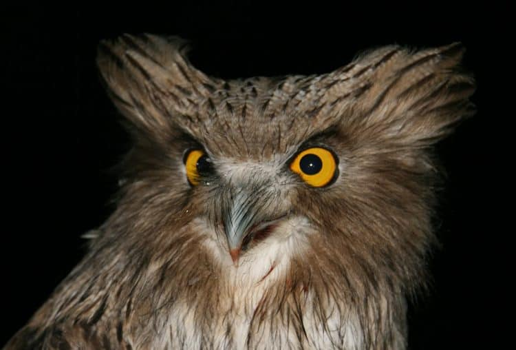 Saving the Blakiston's fish owl
