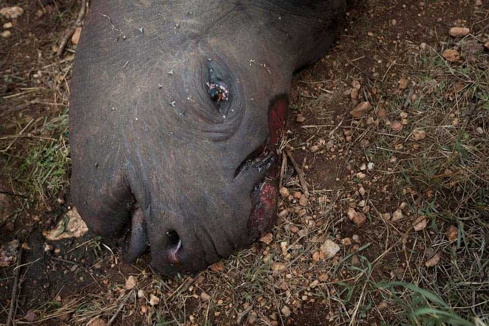 High price of rhino horn leaves bloody trail across the globe