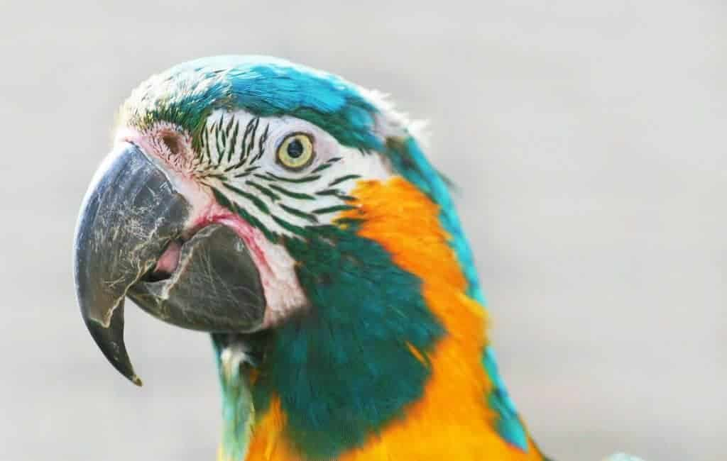 Discovery of a new breeding site for the Blue-throated Macaw