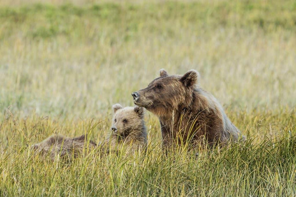 brown bear and cubs nb 2016 73a9940