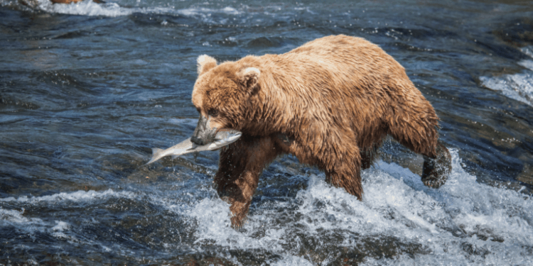 "POLL: Should ""Toxic Mining"" be banned to protect Alaska's brown bears?"