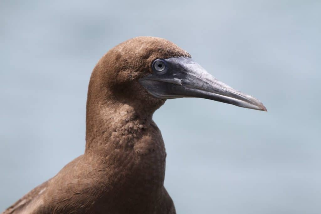 Protecting the majestic seabirds of West Africa