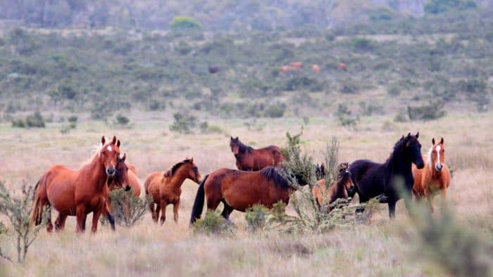 "POLL: Should Australia's feral ""brumby"" horses be protected?"