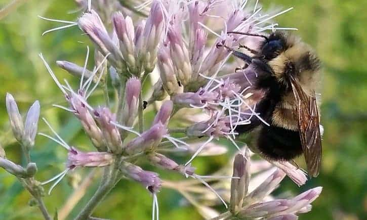 First US bumblebee species listed as endangered after numbers plummet